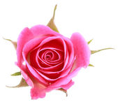 Pink rose flower head isolated on white background cutout — Stockfoto