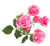 Pink rose flower bouquet isolated on white background cutout — ストック写真