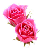 Pink rose flower bouquet isolated on white background cutout — Stock Photo