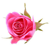 Pink rose flower head — Foto de Stock