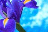 Beautiful blue iris flowers background — Stock Photo