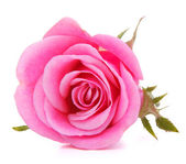 Pink rose flower head isolated on white background cutout — Φωτογραφία Αρχείου