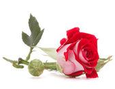 红玫瑰的花头 — 图库照片