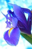 Beautiful blue iris flowers background — Stock Photo