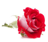 Red rose flower head isolated on white background cutout — Photo