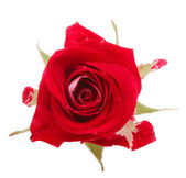 Red rose flower head isolated on white background cutout — Φωτογραφία Αρχείου