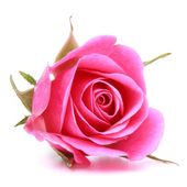 Pink rose flower head isolated on white background cutout — Photo
