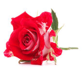 Red rose flower head isolated on white background cutout — Stock Photo