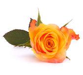 Orange rose — Stock Photo