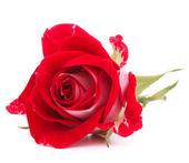 Rosa vermelha flor cabeça isolada no recorte de fundo branco — Fotografia Stock