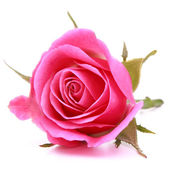 Pink rose flower head isolated on white background cutout — ストック写真