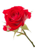 Red rose flower head isolated on white background cutout — ストック写真