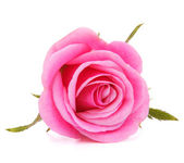 Pink rose flower head isolated on white background cutout — Foto Stock