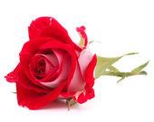 红玫瑰头花隔绝在白色背景缺口 — 图库照片