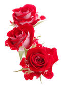 Red rose flower bouquet isolated on white background cutout — Stok fotoğraf