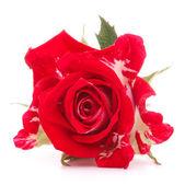 Rode roos bloem hoofd geïsoleerd op witte achtergrond knipsel — Stockfoto