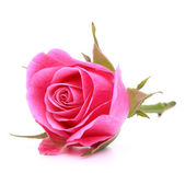 Pink rose flower head isolated on white background cutout — Stock fotografie