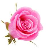 Różowy kwiat róży — Zdjęcie stockowe