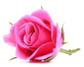 Pink rose flower isolated on white background cutout — Stock Photo
