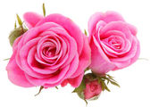Pink rose flower bouquet — Stock Photo