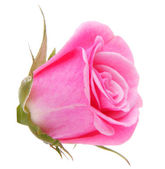 Pink rose flower head — Stockfoto