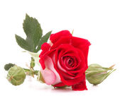 Red rose flower head isolated on white background cutout — Stock fotografie