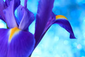 Beautiful blue iris — Stock Photo