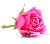 Pink rose flowe — Foto Stock