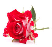 Red rose flower head — Stock Photo
