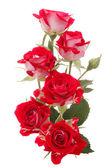 Ramo de rosa roja — Foto de Stock