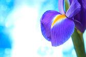 Blue iris flowers — Stock Photo