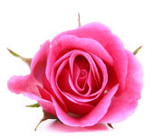 Pink rose flower head isolated on white background cutout — Stock Photo