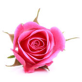 Pink rose flower head — Stock Photo