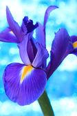Iris flower — Stock Photo
