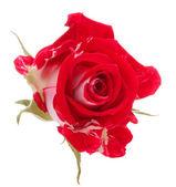 Red rose — Stockfoto