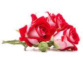 Flor rosa vermelha — Foto Stock