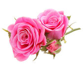 Pink rose flower bouquet isolated on white background cutout — Stockfoto
