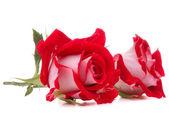 Rosa roja flor de la cabeza — Foto de Stock