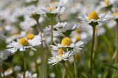 Beautiful daisies. — Stock Photo
