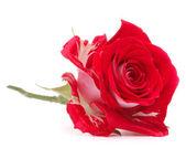 Red rose flower head — Стоковое фото