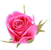 Pink rose flower head — Стоковое фото