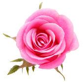 Pink rose — Foto de Stock
