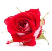Flor rosa roja — Foto de Stock