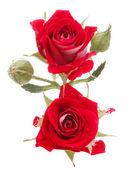 Flores rosas rojas — Foto de Stock