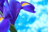 голубой ирис цветы — Стоковое фото