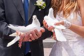 Wedding white pigeons — Stock Photo
