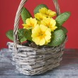 Primrose in a basket — Stock Photo