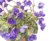 Violet flowers close up — Stock Photo
