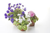 Collection of violet flowers in the pots — Stock Photo
