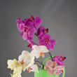 Multicolor phalaenopsis orchid flowers in a watering can — Stock Photo #26878813